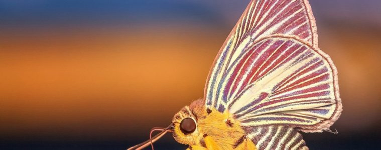 butterfly morph photography