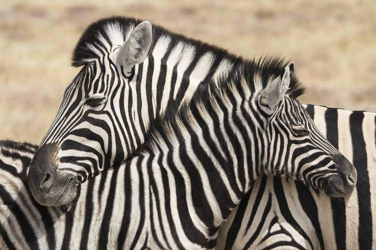 Mother and child zebra necking - Expressive nature photography