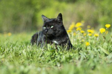 black cat in meadow