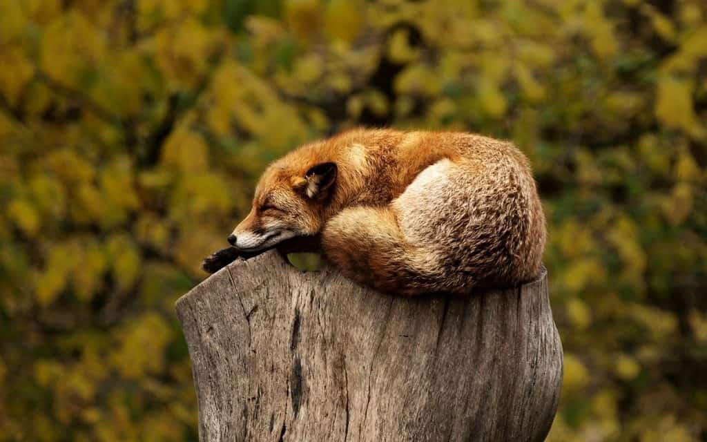 fox sleeping on tree stump