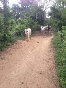 Cows in Cambodian village