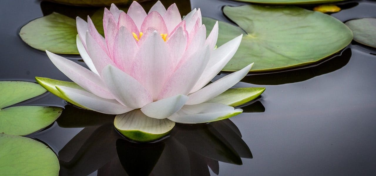 Light pink lotus in pond - Inquire deeply