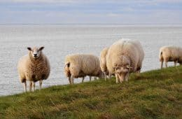 Sheep next to body of water - Poems by John Grey