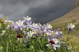 Columbine flowers against dark sky in Colorado - Poems by Ji Strangeway