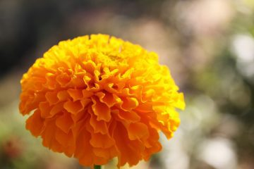 Marigold against blurry outdoor background - Poems by Yuan Changming
