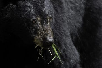 Black bear with grass in its mouth - Walk by your bear
