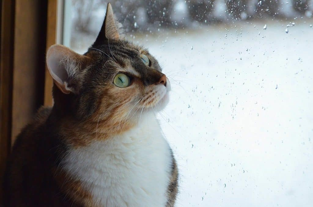cat looking at rain on window