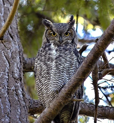Adult great horned owl - My owl adventure