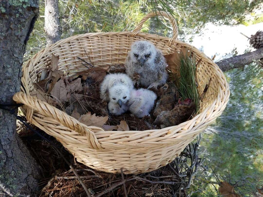 Rescued owl babies back in nest with mother - My owl adventure