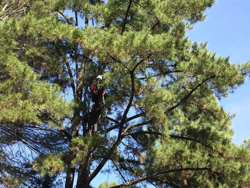 John Traverso up in the tree near the owl's nest - My owl adventure