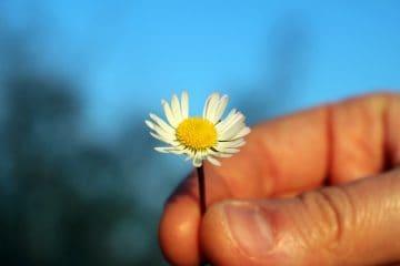hand holding daisy