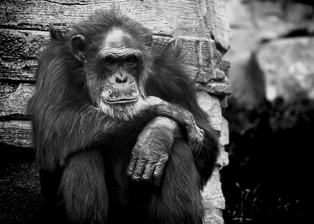 Disgruntled monkey appears to sit and think - I think, therefore I'm the thinker
