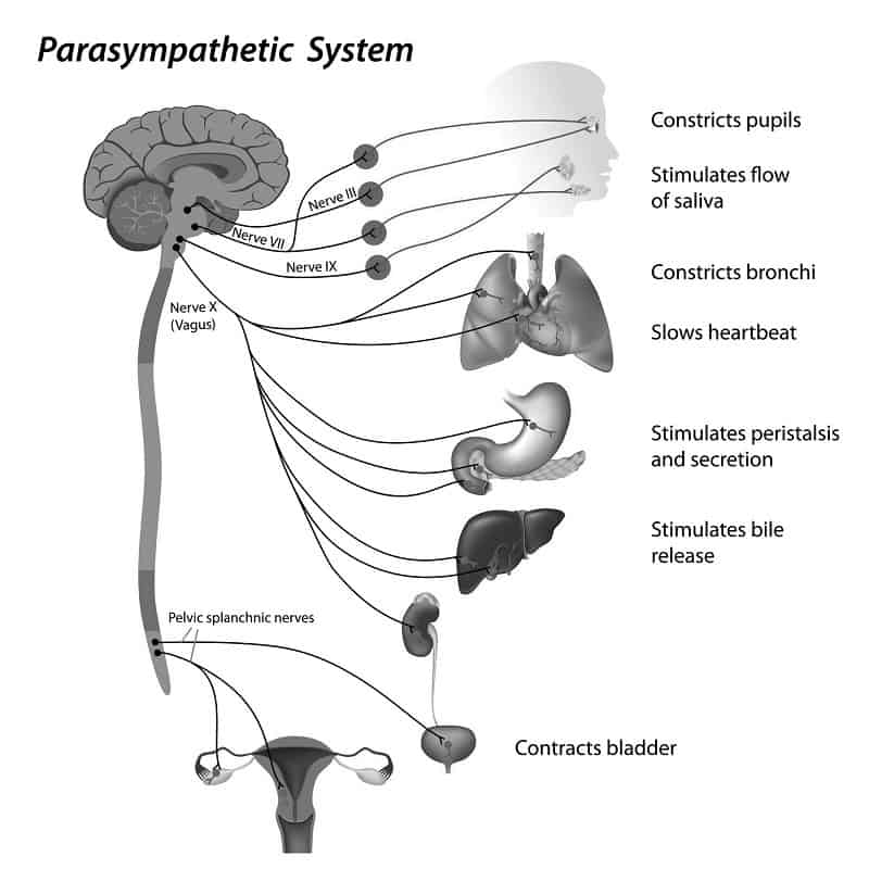 Parasympathetic nervous system - PTSD and the brain