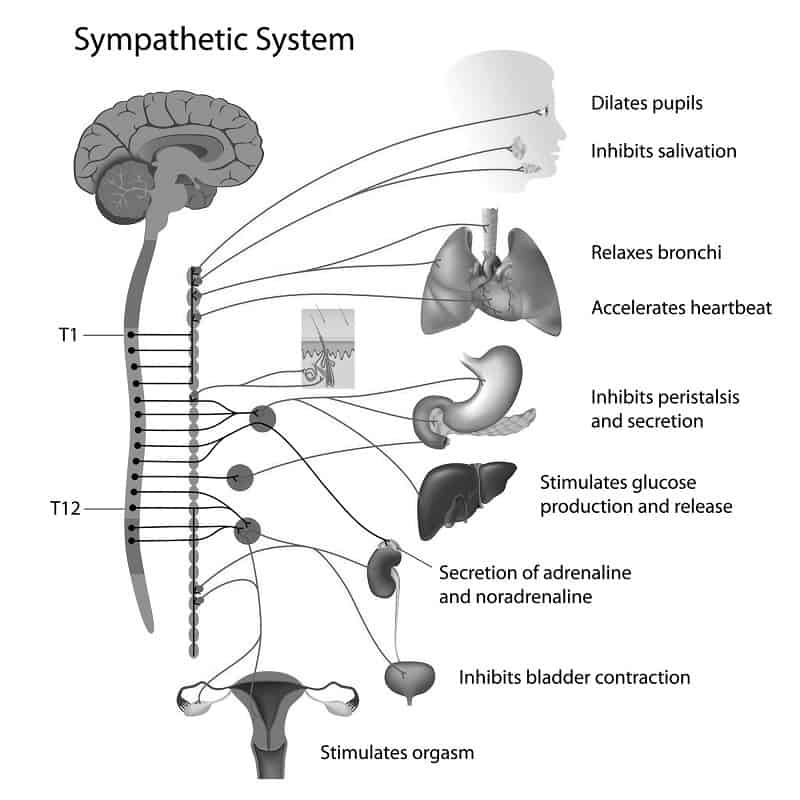 Sympathetic nervous system - PTSD and the brain