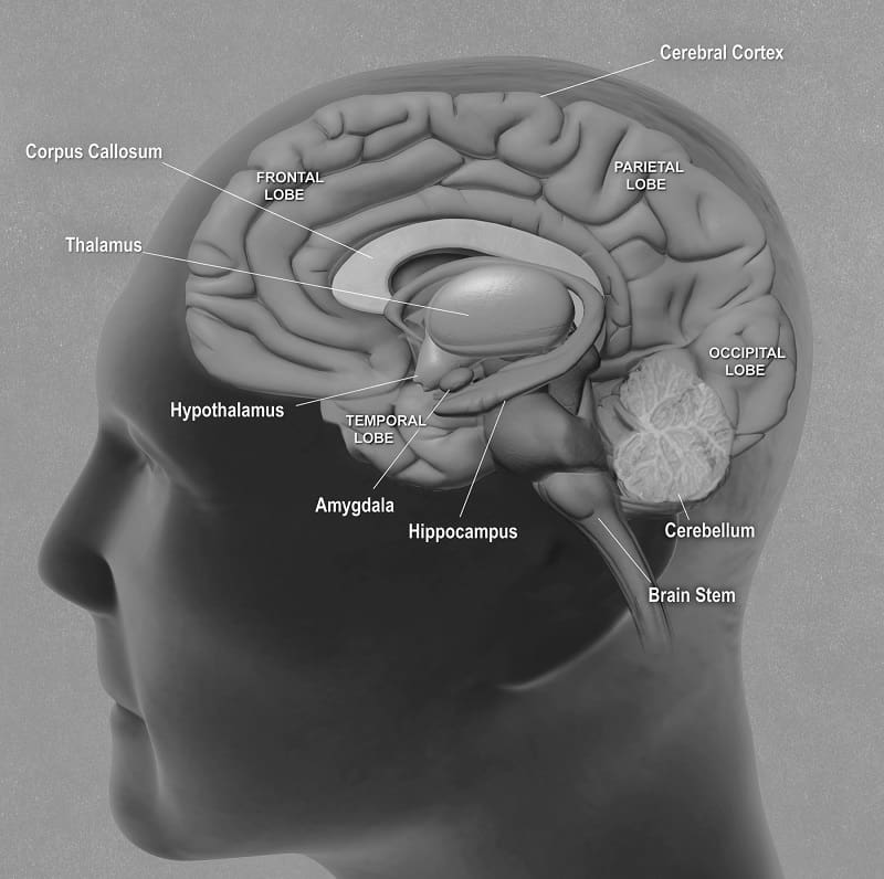 A side view of all the main brain structures - PTSD and the brain