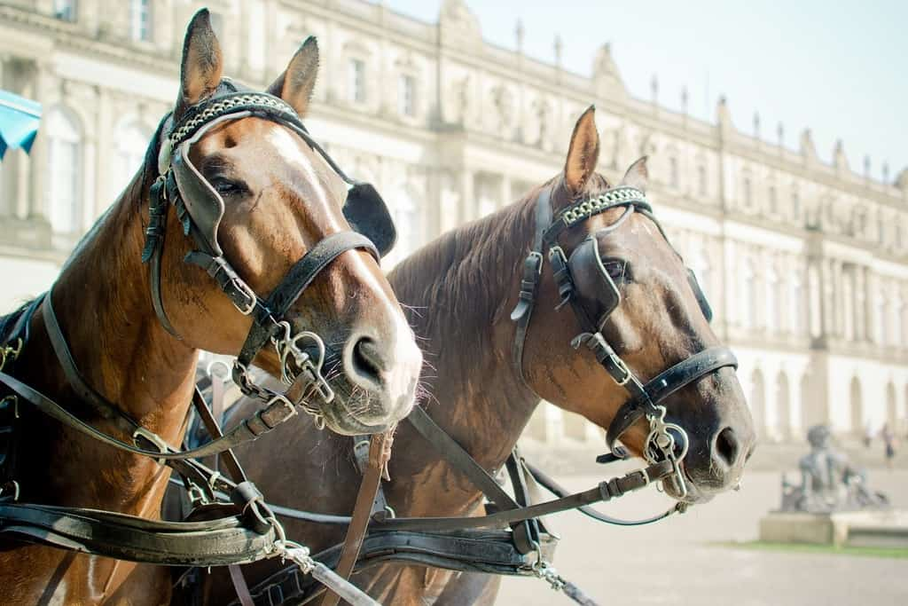 two carriage horses