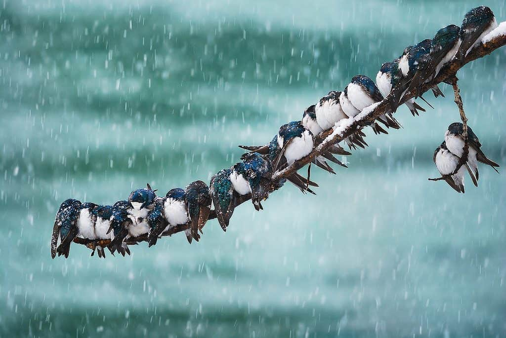swallows in a storm