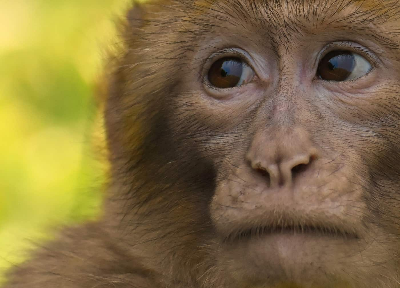 Sad-looking barbary ape - Meditate on your pain