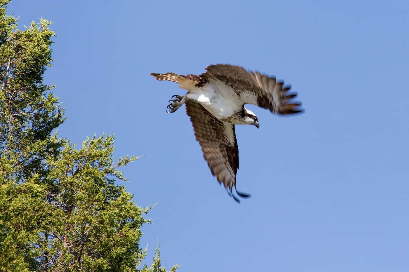 Hawk flying - A clash in the night