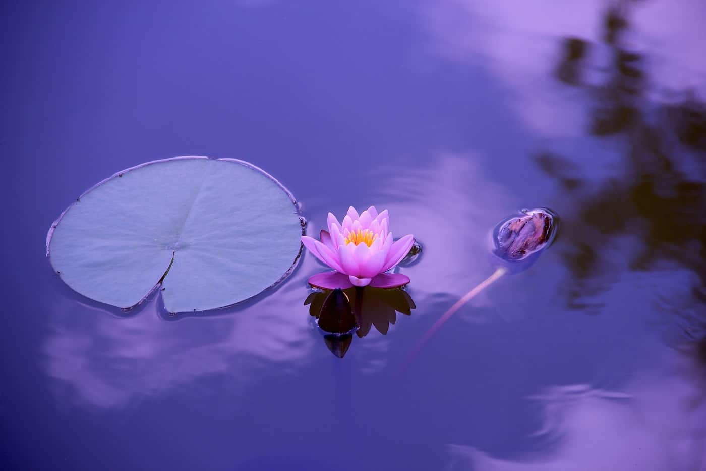 Pink lotus flower floating in blue water with lily pad - Meditation club