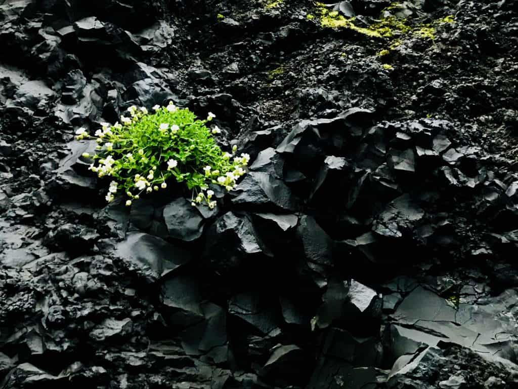 Plant growing through rock in Iceland - Poems by Alice Shi Kembel