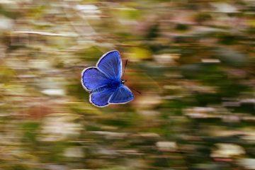 Blue butterfly in motion