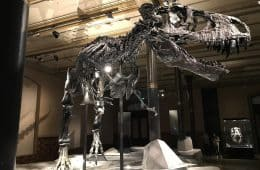 Full T-Rex fossil in museum